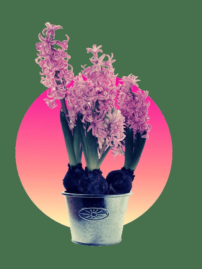 Hyazinthen Muttertagsgeschenk